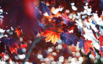 61 Maple Leaf Fondos De Pantalla Hd Fondos De Escritorio