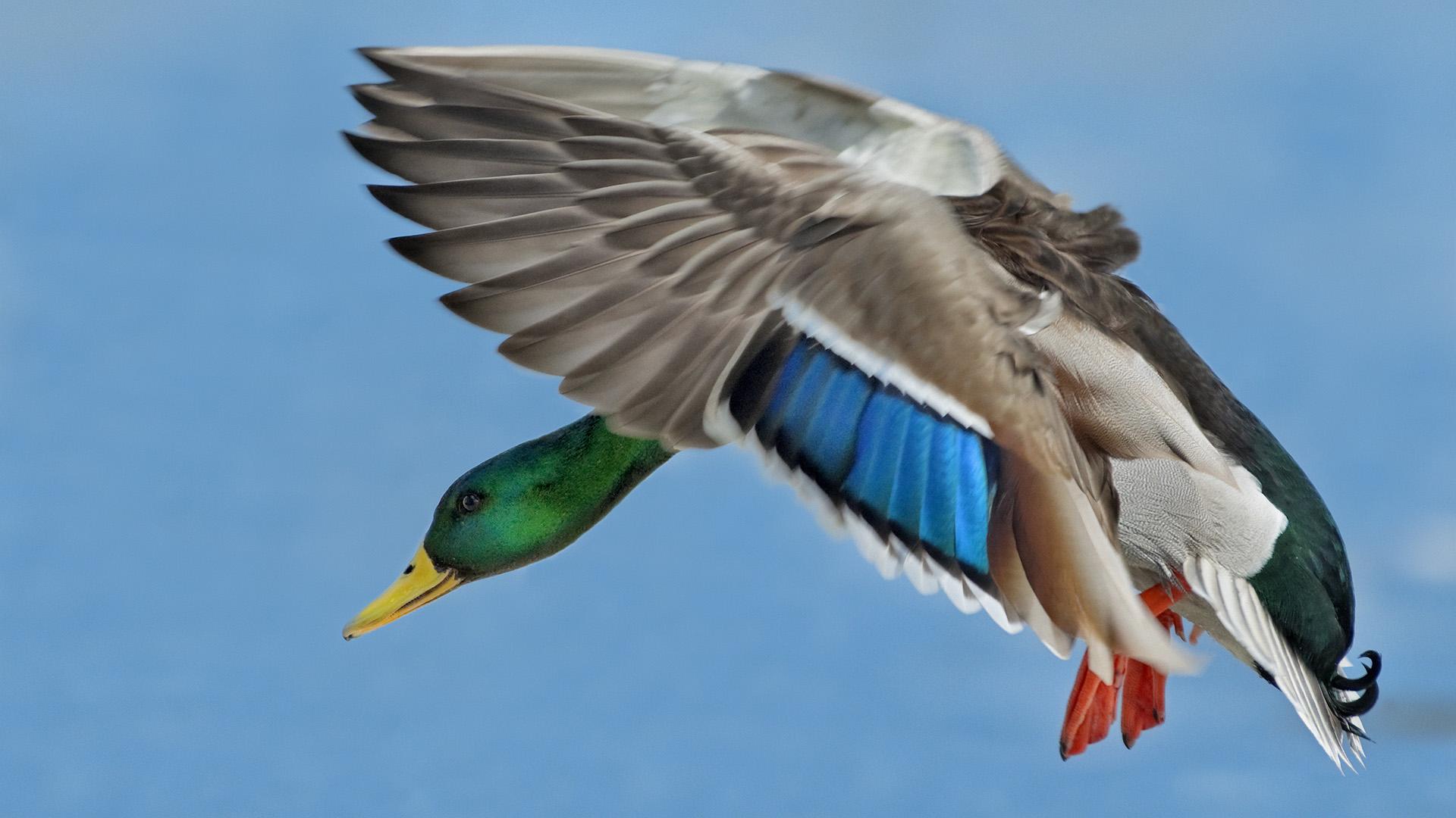 Mallard drake in flight toronto ontario full hd wallpaper and animal duck wallpaper voltagebd Images
