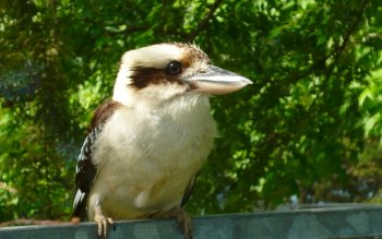 Animal - Kookaburra Wallpapers and Backgrounds ID : 437026