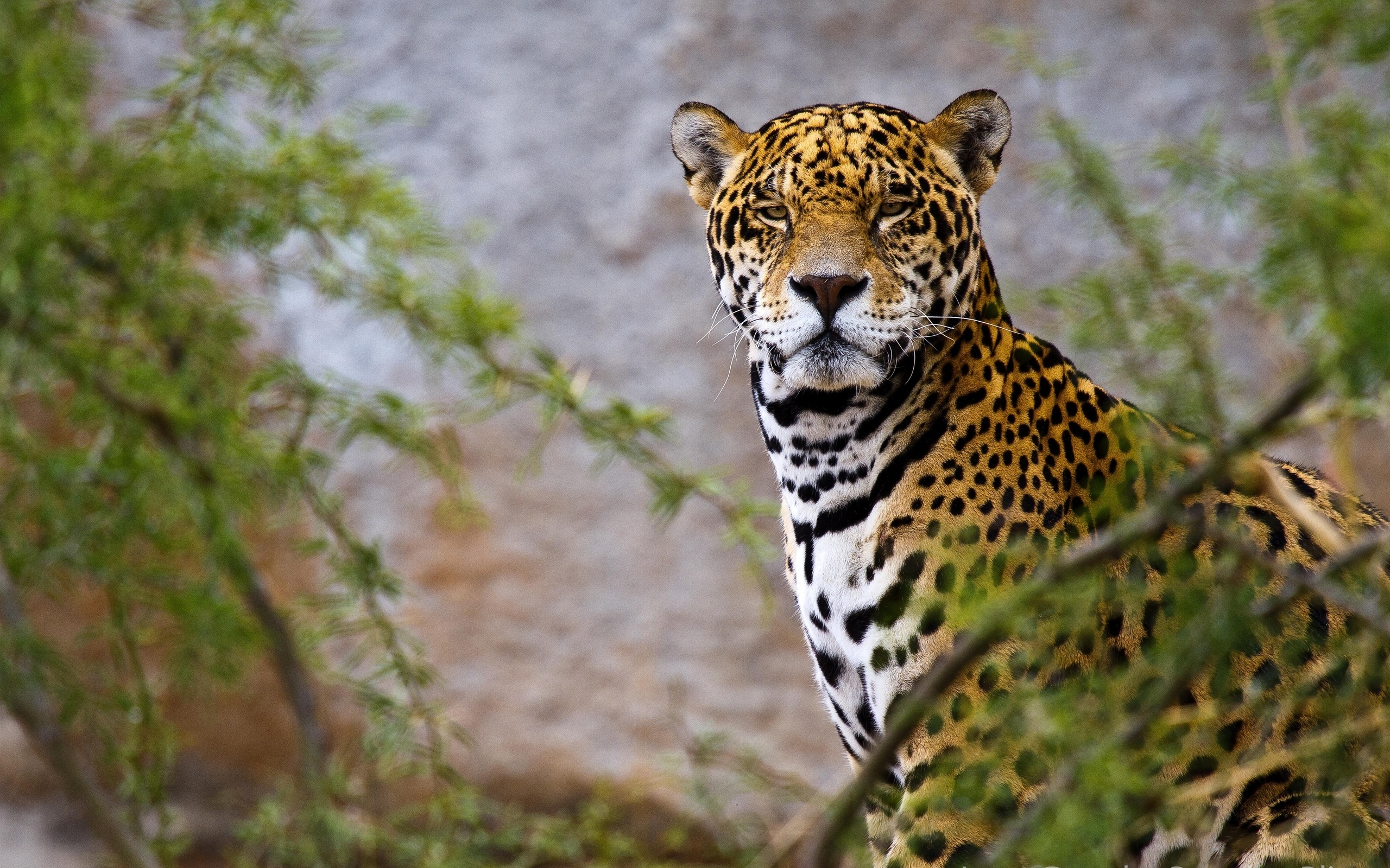 Jaguar full hd wallpaper and background image 2560x1600 - Jaguar animal hd wallpapers ...