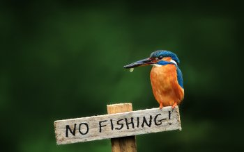 266 Kingfisher Hd Wallpapers Background Images Wallpaper Abyss