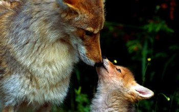 Animal - Fox Wallpapers and Backgrounds ID : 442525