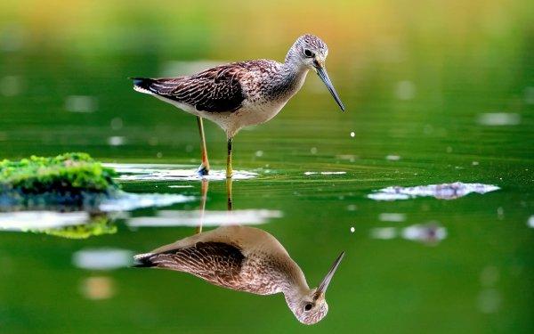 Animal Sandpiper Birds Waders Bird Water Reflection Green HD Wallpaper | Background Image