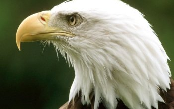 Animal - Eagle Wallpapers and Backgrounds ID : 443229