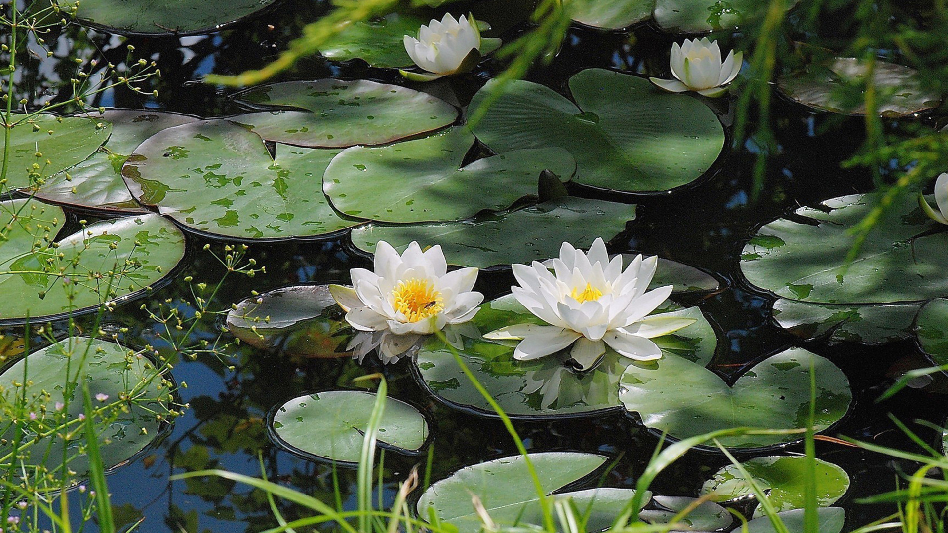 Water Lily HD Wallpaper | Background Image | 1920x1080 ...
