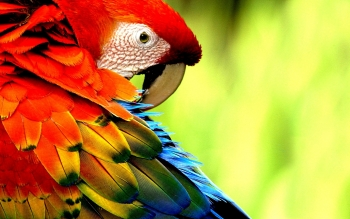 Animalia - Macaw Wallpapers and Backgrounds ID : 449409