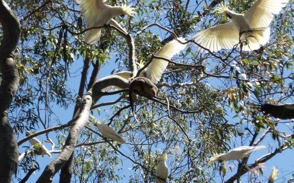 Animal Sulphur-crested cockatoo Birds Cockatoos Possum HD Wallpaper   Background Image