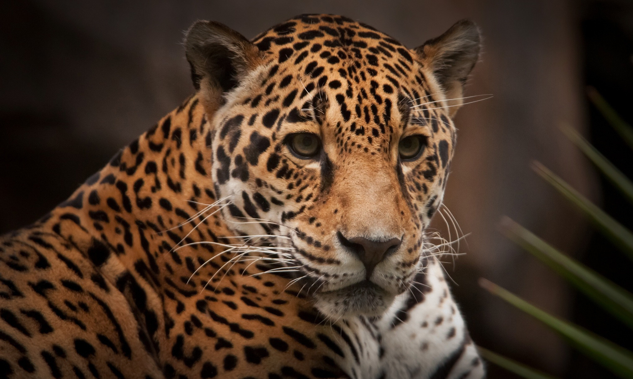 Jaguar full hd wallpaper and background image 2040x1220 - Jaguar animal hd wallpapers ...