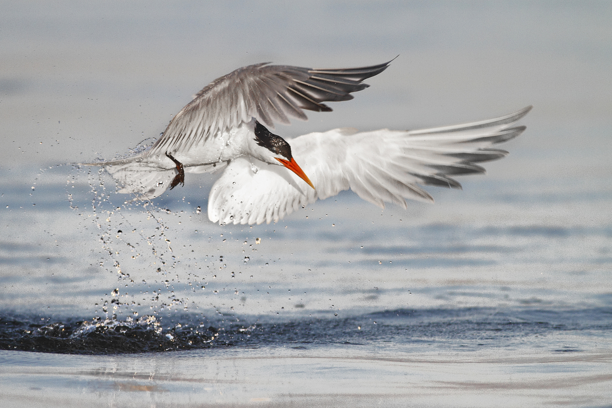 Arctic Tern Computer Wallpapers, Desktop Backgrounds