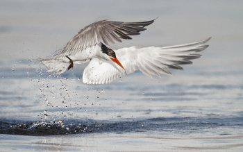 Animal - Arctic Tern Wallpapers and Backgrounds ID : 453375
