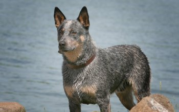 Animalia - Australian Cattle Dog Wallpapers and Backgrounds ID : 453429