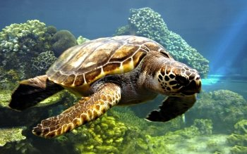 Animal - Turtle Wallpapers and Backgrounds ID : 453733