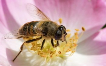 Animal - Bee Wallpapers and Backgrounds ID : 453820