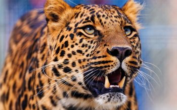 Animalia - Leopard Wallpapers and Backgrounds ID : 453852