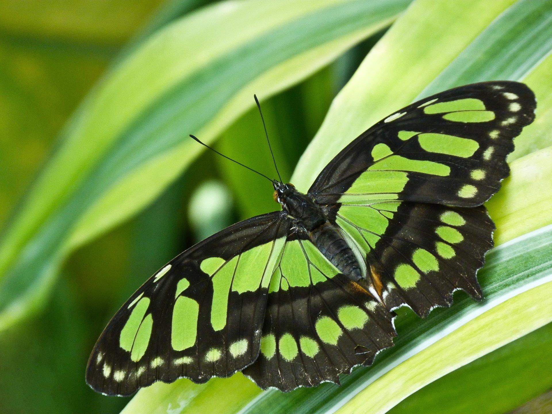 Butterfly 4k Ultra HD Wallpaper   Background Image ...