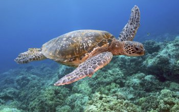 Animal - Turtle Wallpapers and Backgrounds ID : 454128