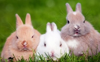Animal - Rabbit Wallpapers and Backgrounds ID : 455530