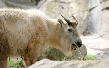 Animal - Goat Wallpapers and Backgrounds ID : 455695