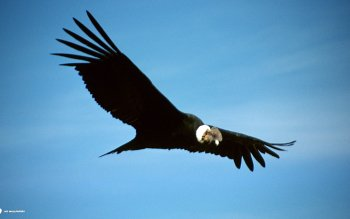 Animal - Condor Wallpapers and Backgrounds ID : 455862