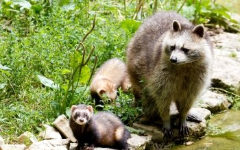 Animal - Raccoon Wallpapers and Backgrounds ID : 456277