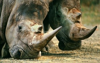 Animal - Rhino Wallpapers and Backgrounds ID : 456459
