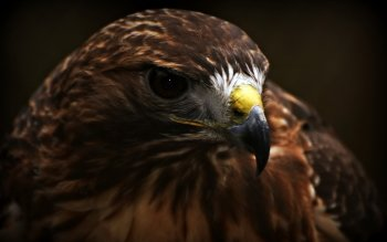 Animal - Eagle Wallpapers and Backgrounds ID : 456971