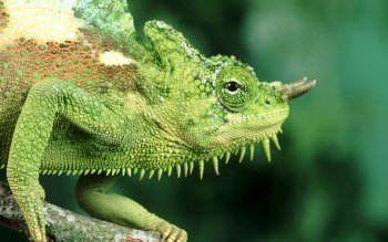 Animal - Chameleon Wallpapers and Backgrounds ID : 458319