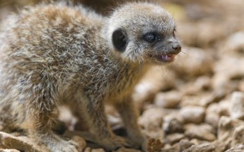 Животные - Meerkat Wallpapers and Backgrounds ID : 462127