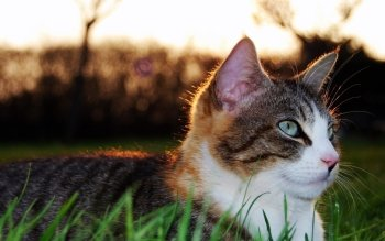 Animal - Cat Wallpapers and Backgrounds ID : 462328