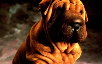 Animal - Shar Pei Wallpapers and Backgrounds ID : 462433