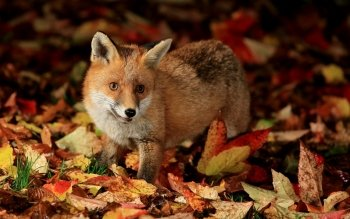 Animal - Fox Wallpapers and Backgrounds ID : 463699
