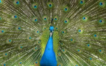 Animal - Peacock Wallpapers and Backgrounds ID : 463919