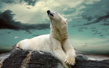 Animal - Polar Bear Wallpapers and Backgrounds ID : 464750