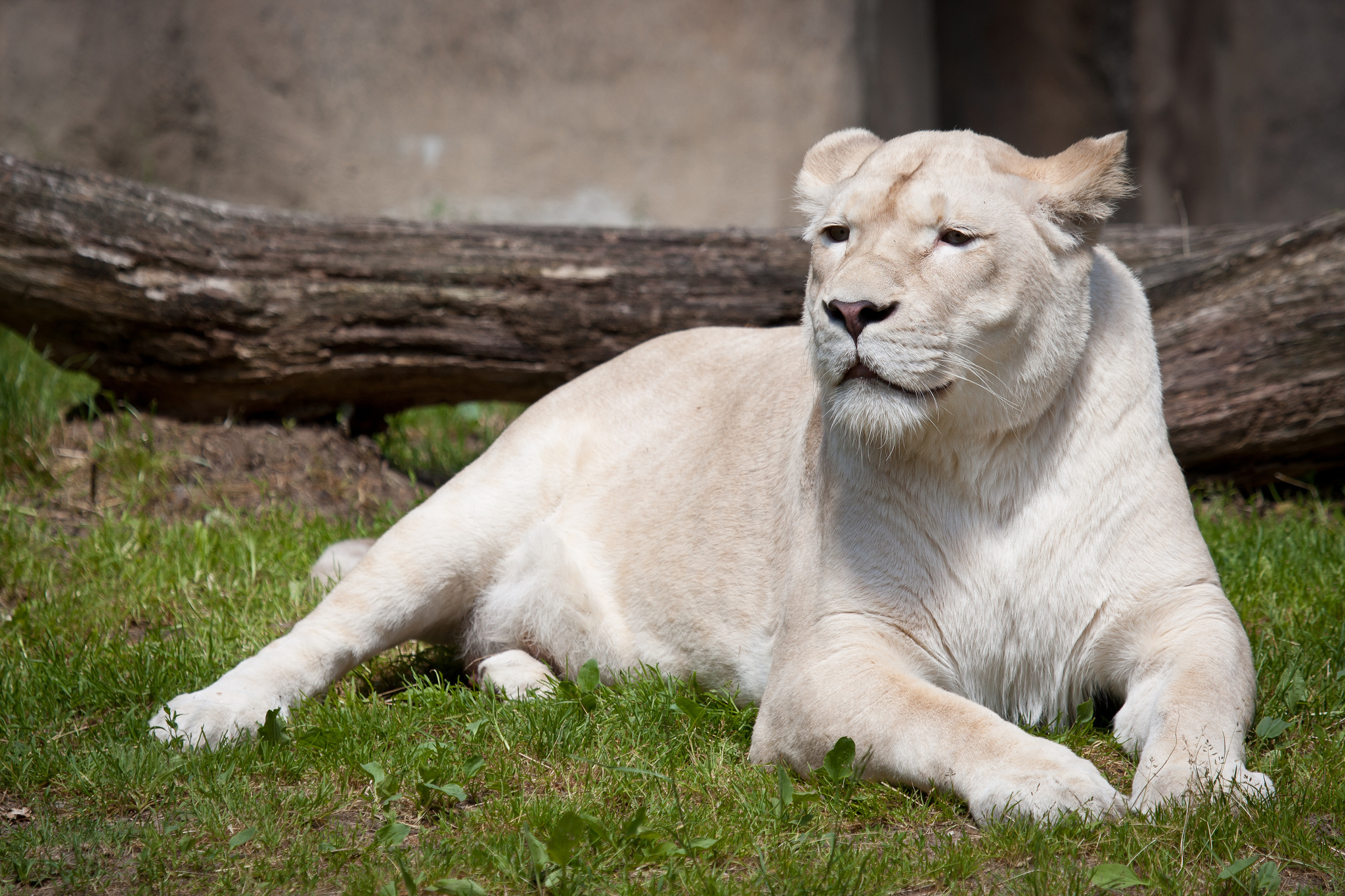 White Lion Full HD Wallpaper and Background Image ...