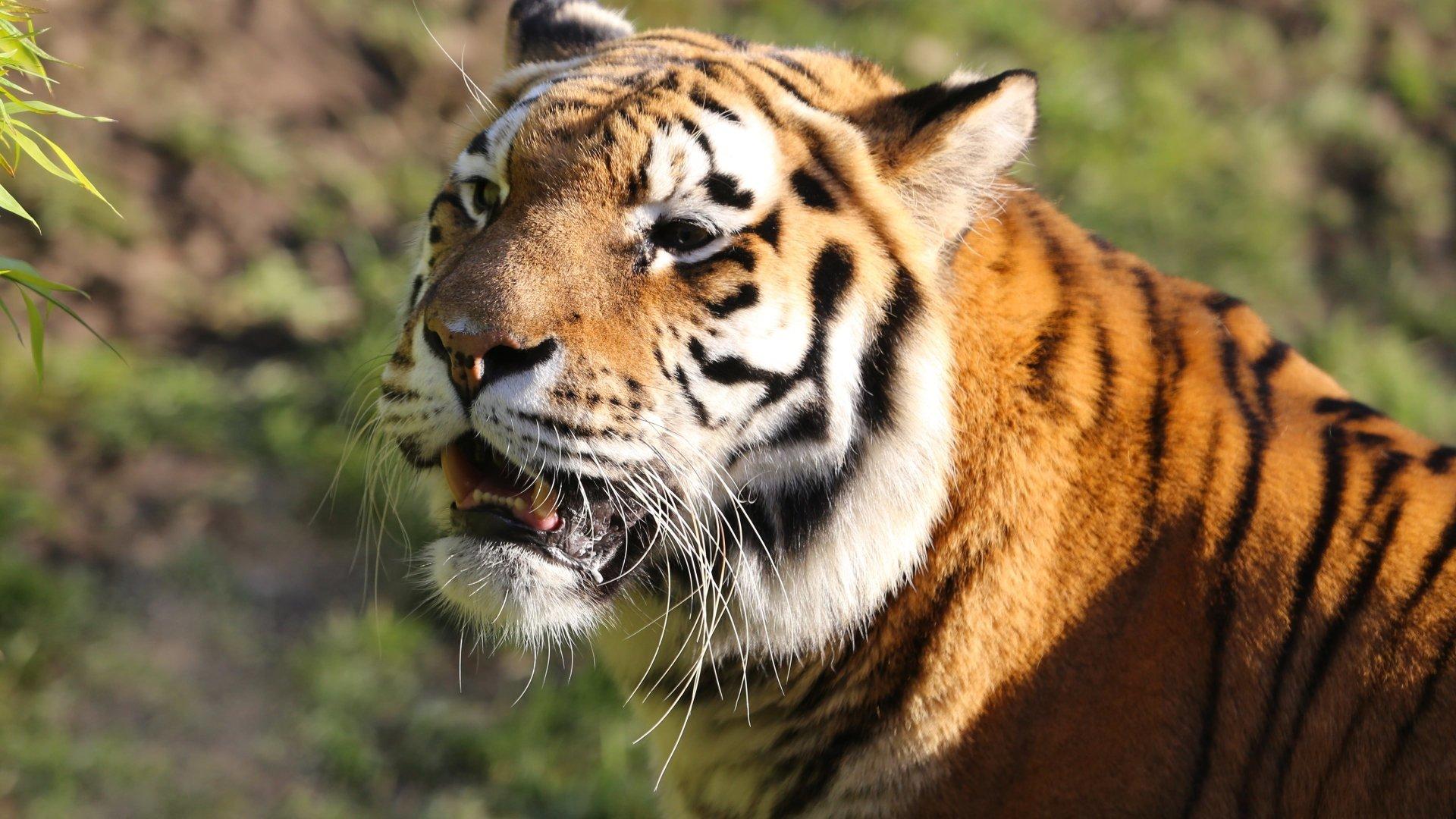 Tiger 4k Ultra HD Wallpaper | Background Image | 3840x2160 ...