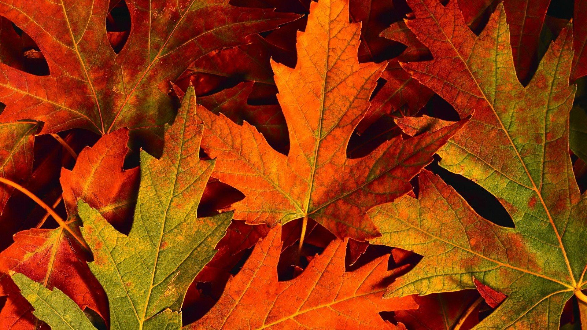 Hoja fondo de pantalla hd fondo de escritorio - Descargar autumn leaves ...