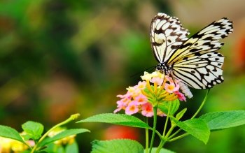 Animal - Butterfly Wallpapers and Backgrounds ID : 467026