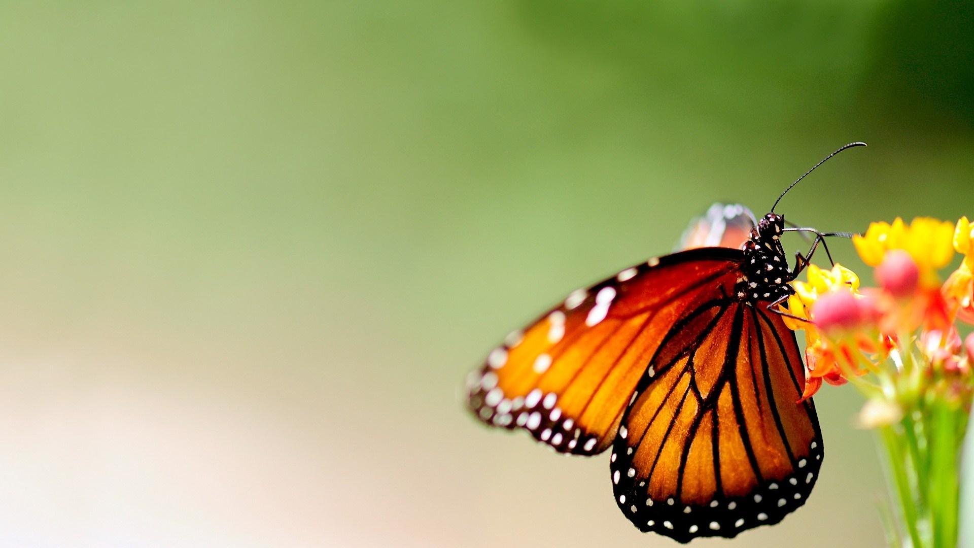 Farfalla hd wallpaper sfondi 1920x1080 id 469662 for Sfondi con farfalle