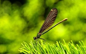 Animal - Dragonfly Wallpapers and Backgrounds ID : 469148