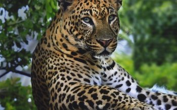 Animalia - Leopard Wallpapers and Backgrounds ID : 469161