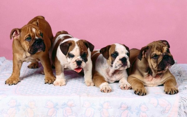 Animal Bulldog Dogs Dog HD Wallpaper   Background Image