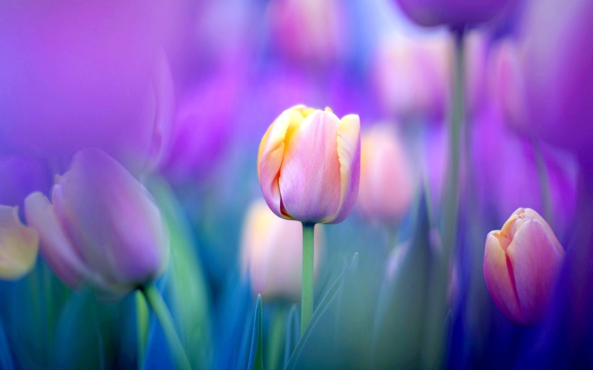 1102 Tulip Hd Wallpapers Background Images Wallpaper Abyss