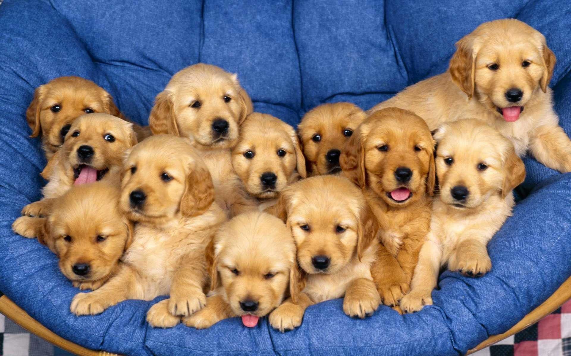 358 Golden Retriever HD Wallpapers
