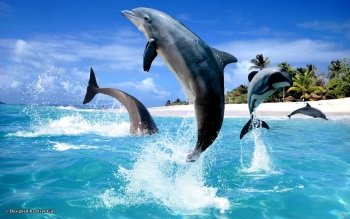 Animal - Dolphin Wallpapers and Backgrounds ID : 470082