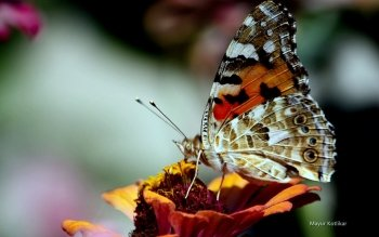 Animal - Butterfly Wallpapers and Backgrounds ID : 470351