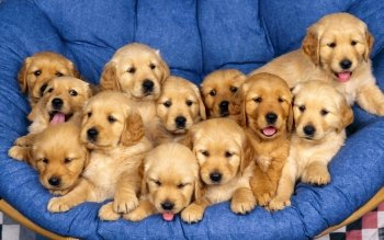 Animalia - Golden Retriever  Wallpapers and Backgrounds ID : 470358