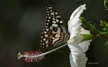 Animal - Butterfly Wallpapers and Backgrounds ID : 471211