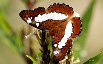 Animal - Butterfly Wallpapers and Backgrounds ID : 472719