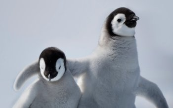 Animal - Penguin Wallpapers and Backgrounds ID : 475997