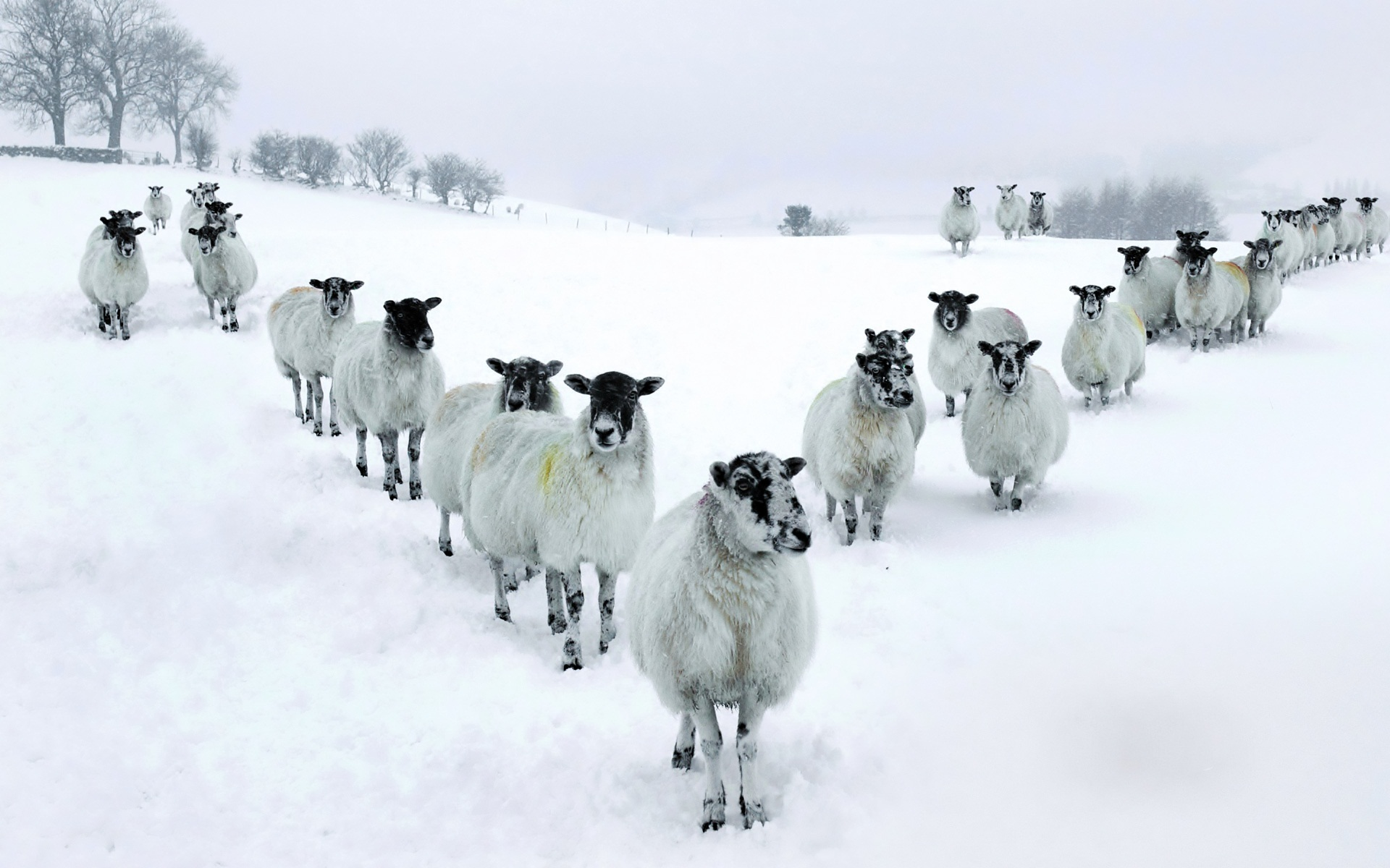Sheep 9 Animals Minimalistic Wallpapers For Iphone: Winter Sheep In V Formation Full HD Wallpaper And